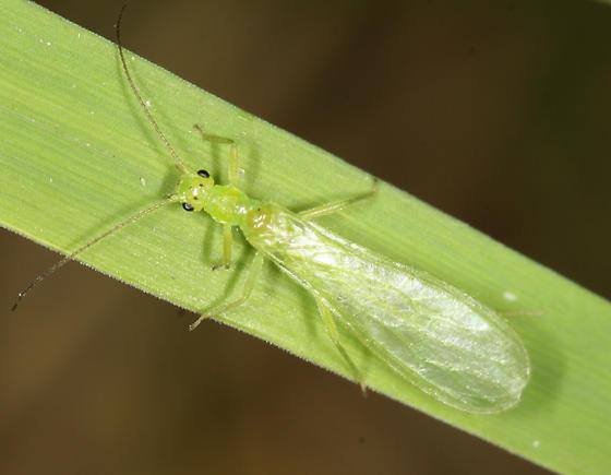 Plecoptera: Chloroperlidae: Alloperla petasata - Alloperla petasata - male