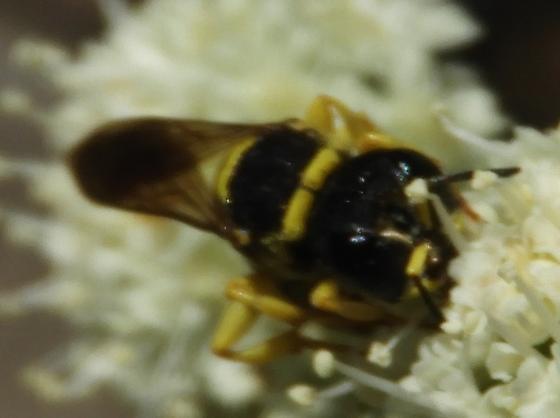 wasp - Ectemnius