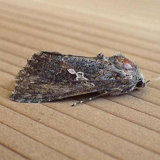 Noctuidae: Trichoplusuia ni - Trichoplusia ni