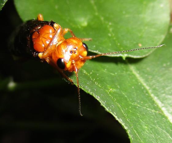 Pamphiliidae