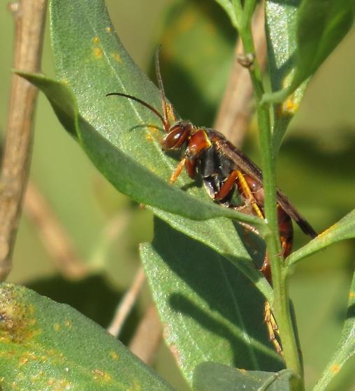 Spider wasp - Poecilopompilus interruptus
