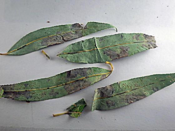 Blotch mines on weeping willow - Isochnus sequensi