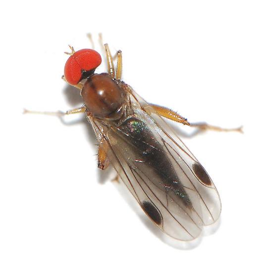 Hybotid Dance Fly - Hybotinae - Syneches thoracicus - female