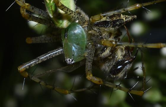 Green Lynx Spider with Egg Sac and Lunch - Peucetia viridans - female