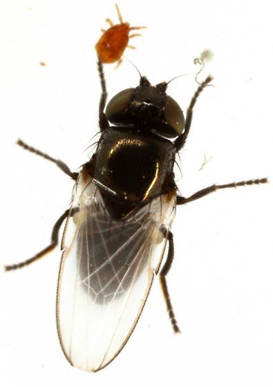 Milichiidae? - Milichiella
