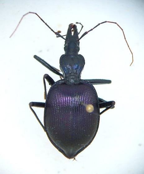 Scaphinotus - Scaphinotus andrewsii