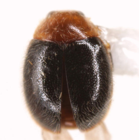 Diomus xanthaspis (Mulsant) - Diomus xanthaspis
