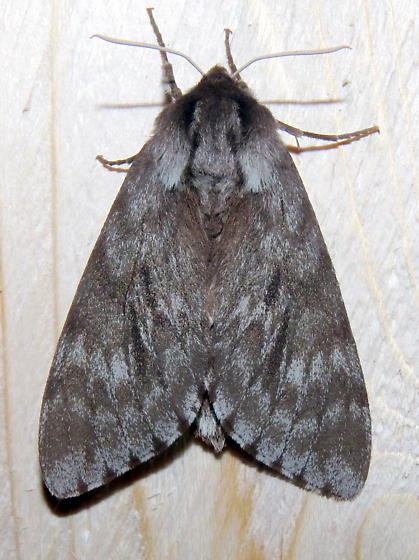 Northern Pine Sphinx Moth - Lapara bombycoides