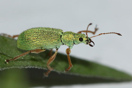 Pale Green Weevil with open jaw - Polydrusus impressifrons