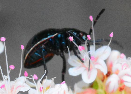 Silverado Beetle #2 Needs ID - Largus