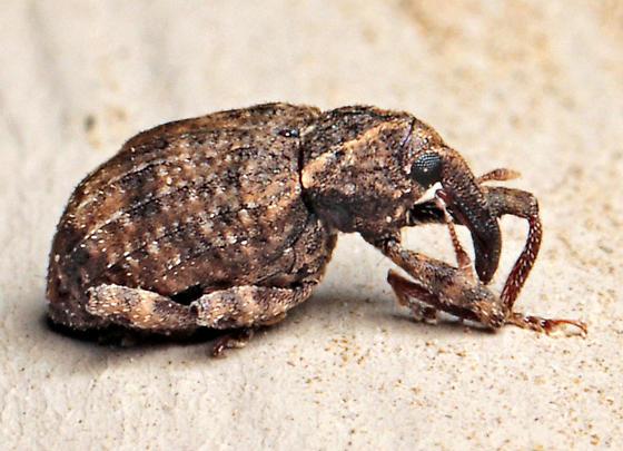 Beetle - Conotrachelus seniculus