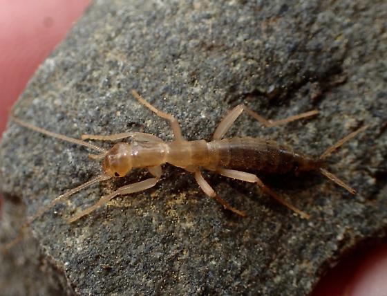 Notoptera  - Grylloblatta
