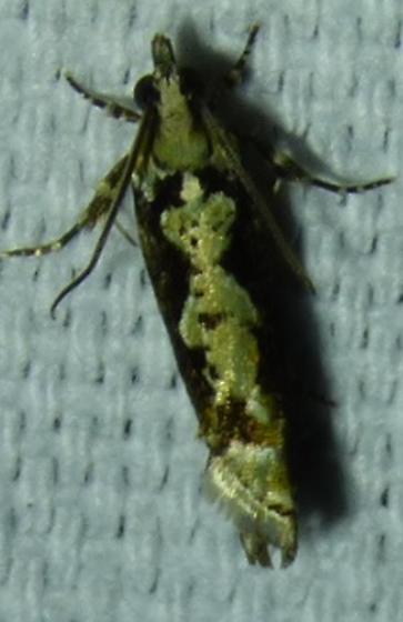 Chimoptesis pennsylvaniana - Filigreed Chimoptesis - Chimoptesis pennsylvaniana