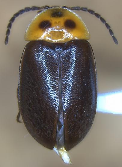 Sacodes cf. fuscipennis - Sacodes fuscipennis