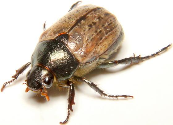 Anomala foraminosa - female