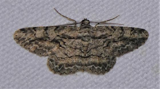 6590    Common Gray   (Anavitrinella pampinaria) - Anavitrinella pampinaria - male