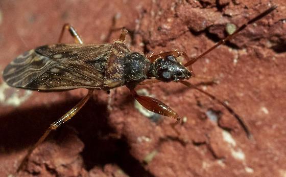 Seed bug? - Heraeus plebejus