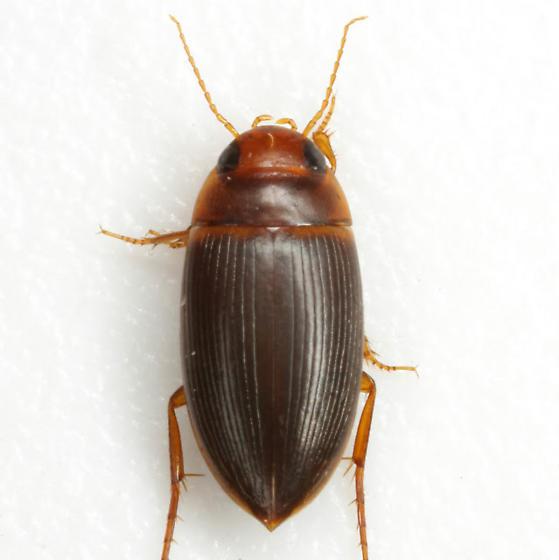 Copelatus caelatipennis Aubé - Copelatus caelatipennis