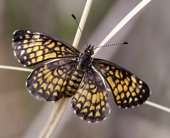 We think this is the Tiny Checkerspot - Microtia elada - female