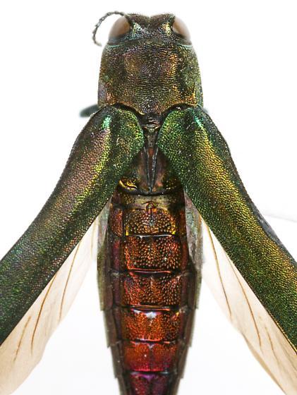 Agrilus planipennis Fairmaire - Agrilus planipennis