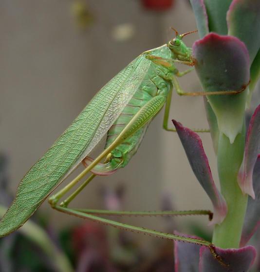 راست بال با  زیرترین صدا در میان حشرات