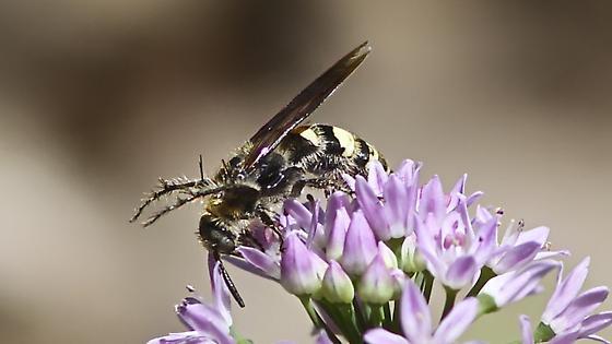 Wasp ? - Dielis plumipes - female