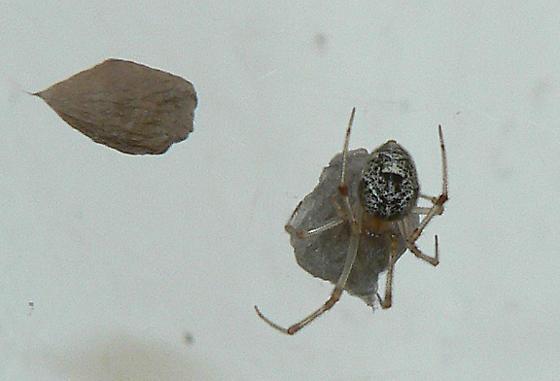Female Spider - Parasteatoda tepidariorum - female