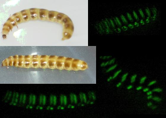 Glowing Meal Worm? - Phengodes