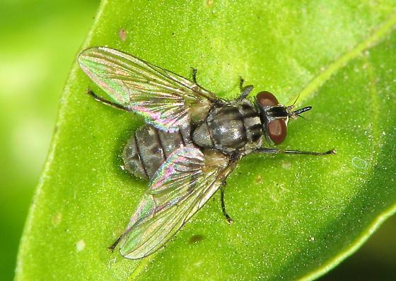 unknown Fly - Stomoxys calcitrans