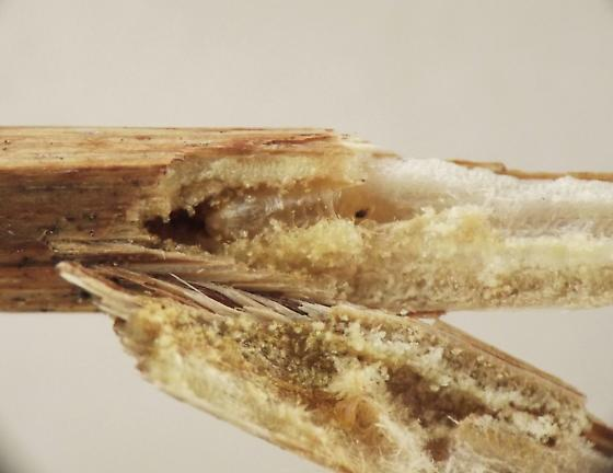 Stem borer, Prenanthes - Melanagromyza