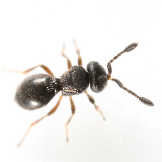 wingless wasp - Trimorus - female