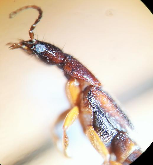 Staphylinidae - Erichsonius