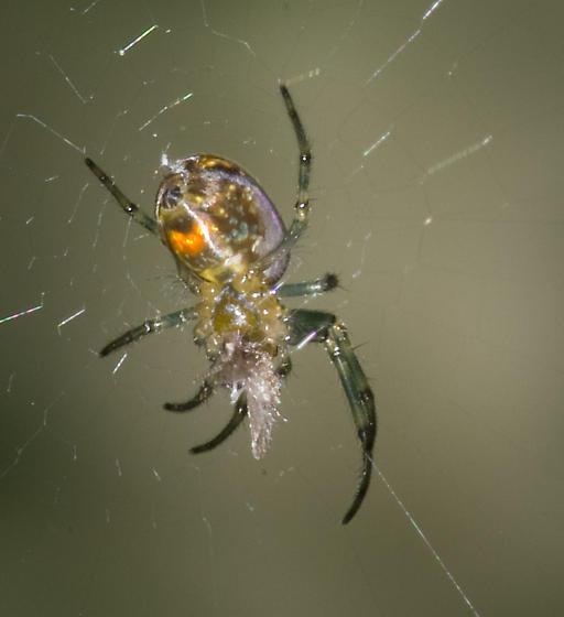 Tiny Technicolor Spider - Leucauge venusta