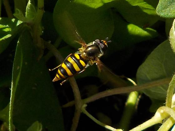 unknown pollinator - Eupeodes - female