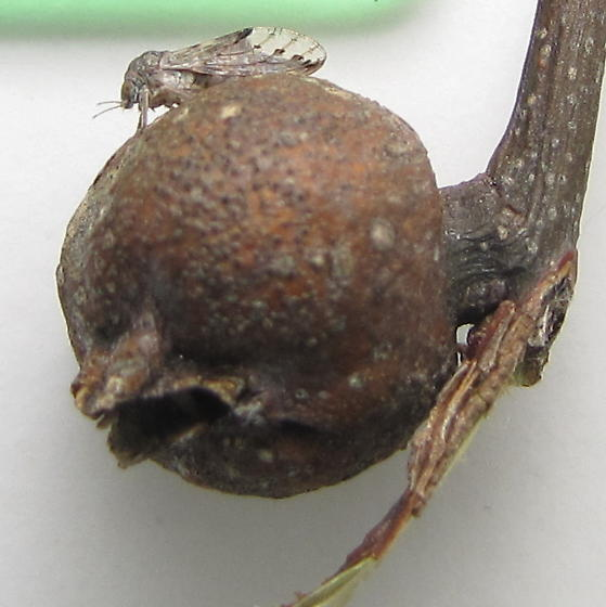 Hackberry psyllid with wing spots - Pachypsylla venusta