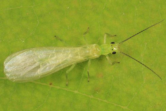 stonefly - Haploperla brevis