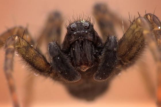 Adult male - Pardosa vancouveri - male