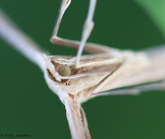 large plume moth - Hellinsia balanotes