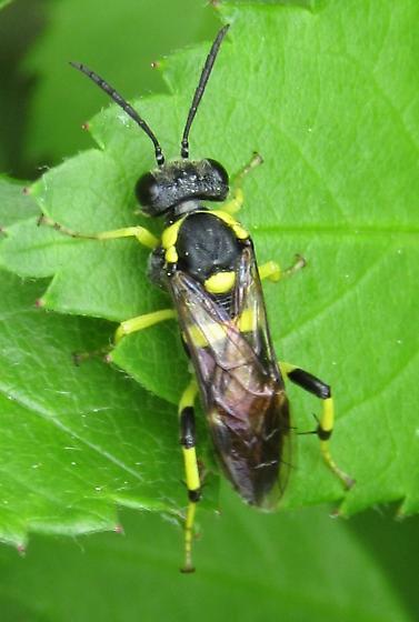 unknown Tenthredinoidea? - Macrophya