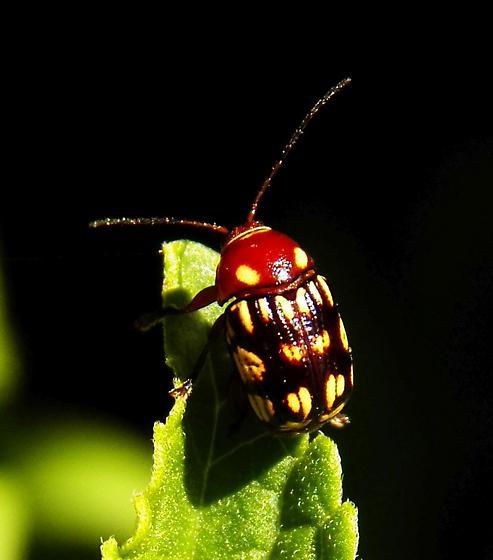 Flea Beetle 052819