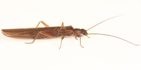 Rolled-winged Stonefly - Leuctra ferruginea - female