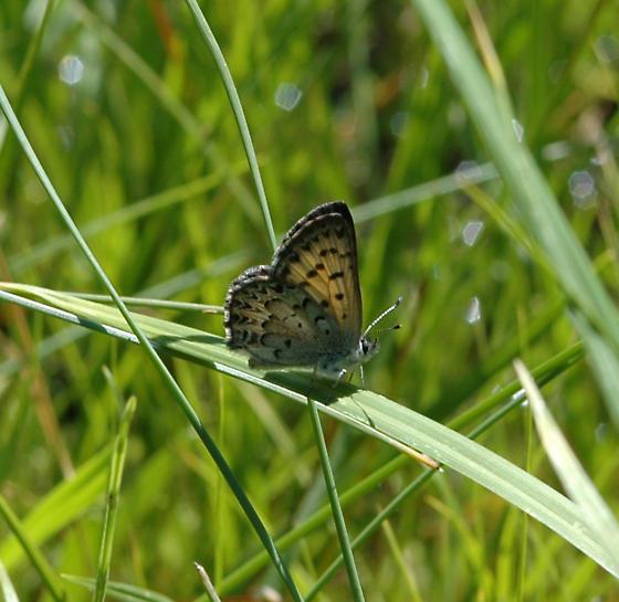 Mariposa? gender? - Lycaena mariposa - male
