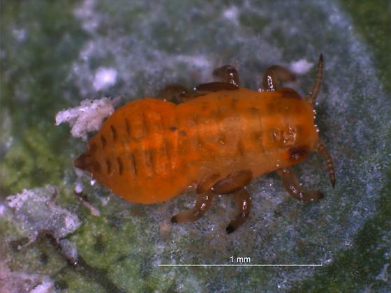 Early stage lerp dweller - Glycaspis brimblecombei