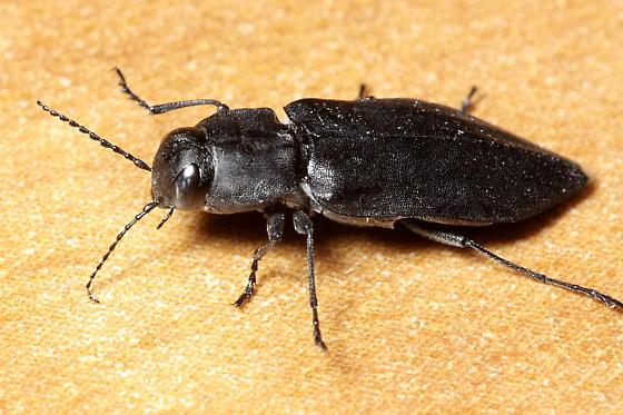 Black Fire Beetle - Melanophila acuminata