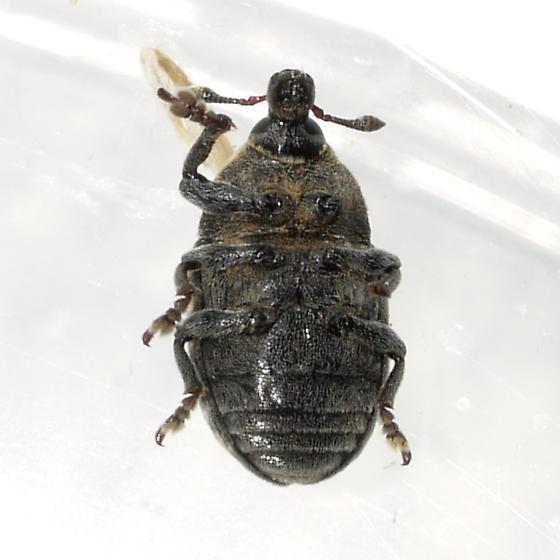Knapweed Seedhead Weevil - Larinus obtusus