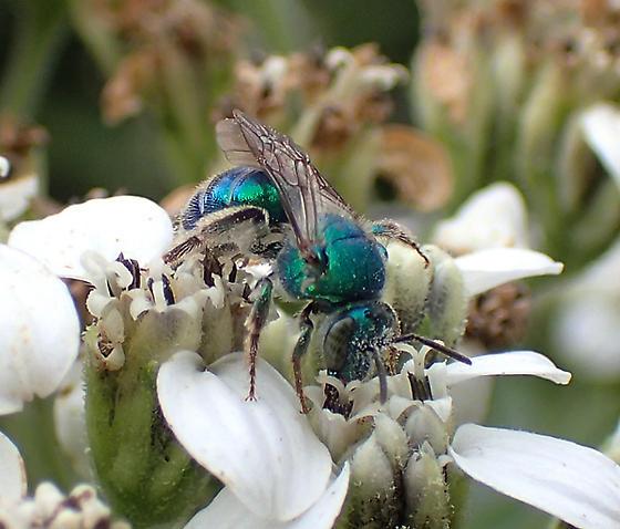 Augochloropsis ? - Augochloropsis