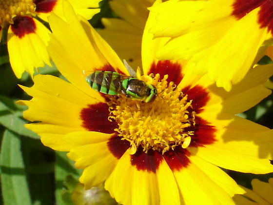 Green Soldier Fly - Hedriodiscus binotatus - Odontomyia cincta - female