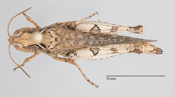Grasshopper - Psoloessa - female