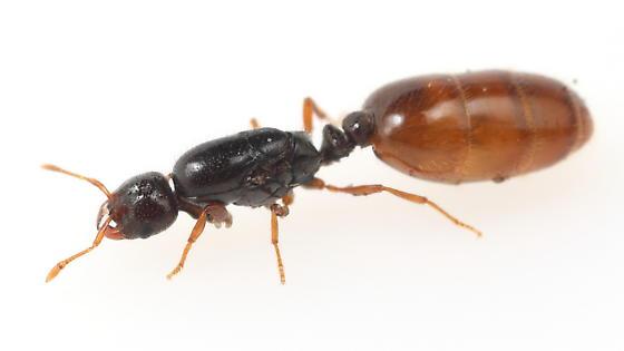 Ant - Solenopsis