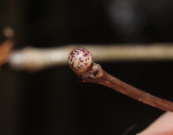 Andricus pisiformis